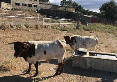 Venta ganado selecto berrenda-colorado-negro